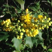 Barberry (Berberis pinnata)