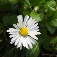 English daisy (bellis-perennis)