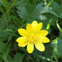 Buttercup (Ranunculus californicus)
