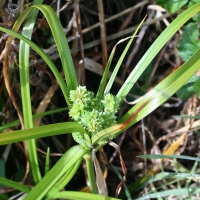 Umbrella sedge (Cyperus eragrostis)
