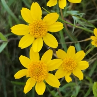California goldfields (Lasthenia californica)