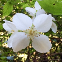 mock-orange-philadelphus-lewisii
