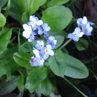 forget me not (myosotis-latifolia)