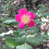 Wood rose (rosa-gymnocarpa)