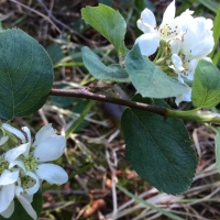 service-berry-amelanchier-utahensis