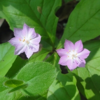 Star flower (Trientalis latifolia)