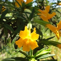 Sticky Monkeyflower (Mimulus aurantiacus)