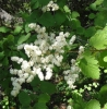 Ocean spray (Holodiscus discolor)
