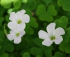Crimson woodsorrel (Oxalis incarnata)
