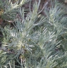 Sagebrush (Artemisia californica)