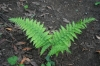 Wood fern (Dryopteris expansa)