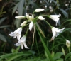 White flowered onion* (Allium triquetrum)