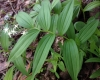 False lily of the valley (Maianthemum stellatum)