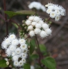 thoroughwort