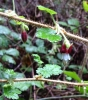 Canyon gooseberry (Ribes menziesii)