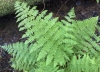 Common ladyfern (Athyrium filix-femina)