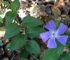 Bigleaf periwinkle (Vinca major)