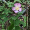 wood rose (Rosa gymnocarpa v. gymnocarpa )