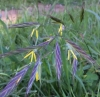 california-brome-bromus-carinatus