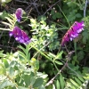 hairy-vetch-vicia-villosa