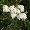 Common yarrow Achillea millefolium