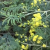 Green wattle* (acacia-decurrens)