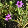 Blue eyed grass (Sisyrinchium bellum)