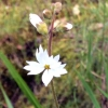 Woodland star (lithophragma-affine)
