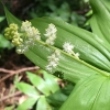 Feathery false lily of the valley (maianthemum-racemosum)