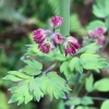 Meadow rue (Thalictrum fendleri v. polycarpum)