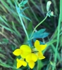 Bird's foot trefoil lotuscorniculatus