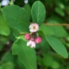 Creeping snowberry (symphoricarpos mollis)