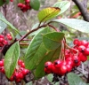 Broad-leaved cotoneaster (Cotoneaster lacteus)